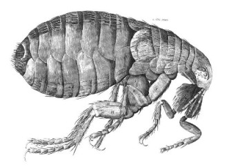 Robert Hooke's sketch of a flea